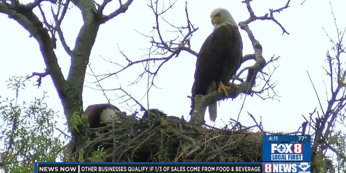 Metairie residents saddened by death of eaglet