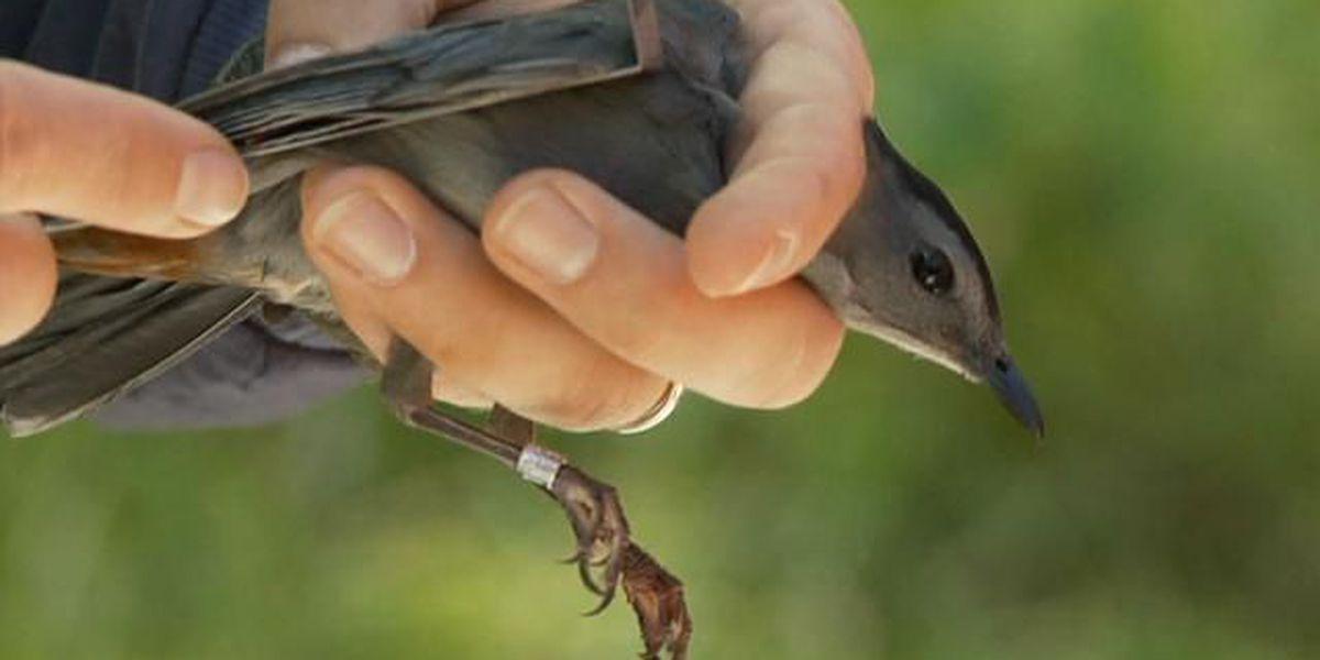 Heart of Louisiana: Grand Isle birds