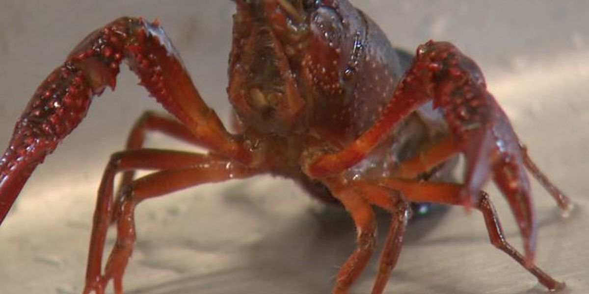 Emile the crawfish officially pardoned, season begins