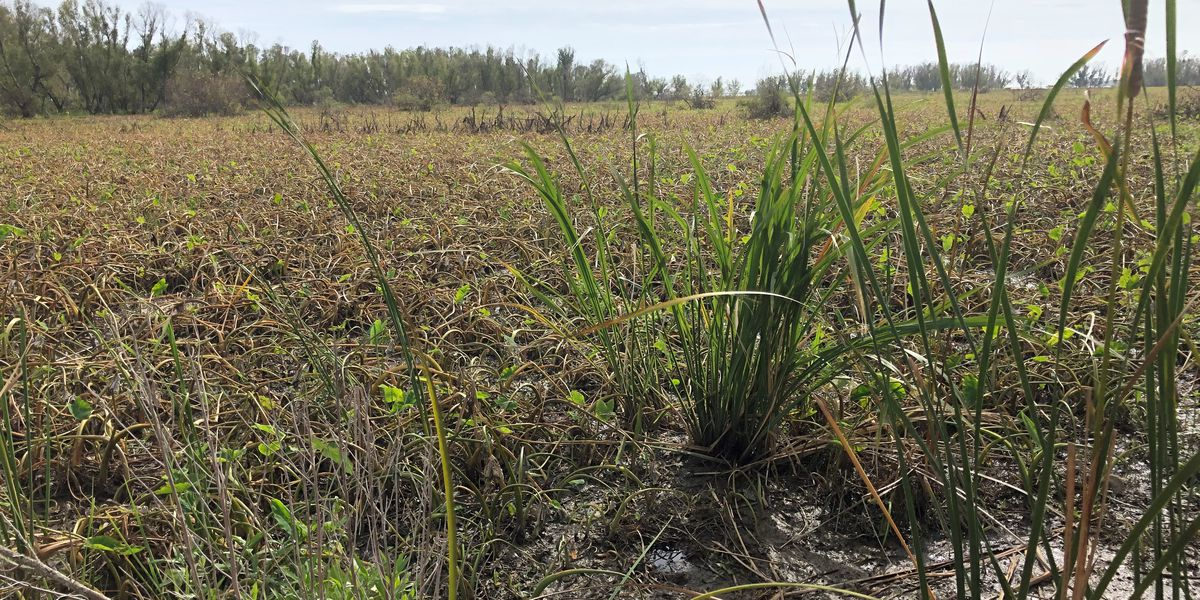 Wetland growth near mouth of Atchafalaya gives hope of restoring Louisiana's Mississippi Delta