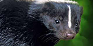 Rabid skunk chases people, attacks dog