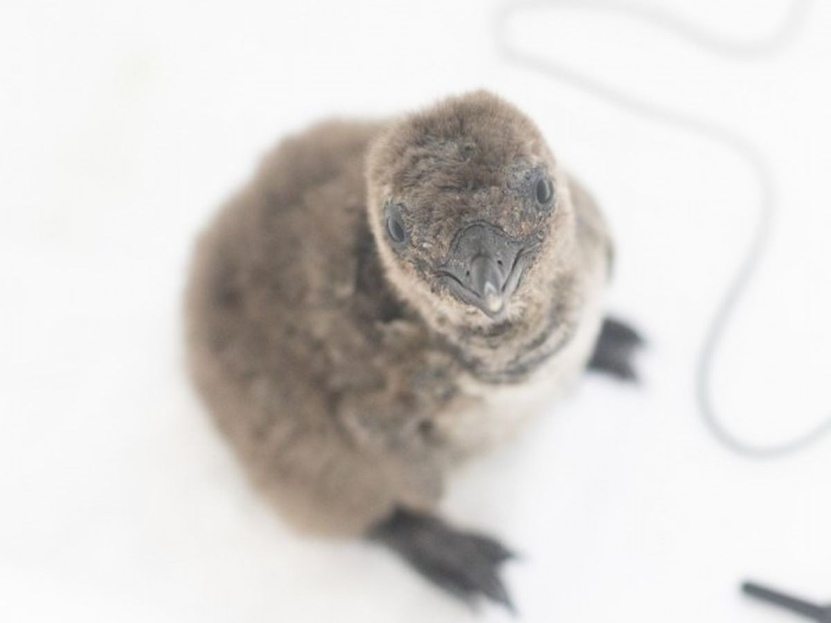 "The Audubon Aquarium names its new penguin chick ""Zion"""