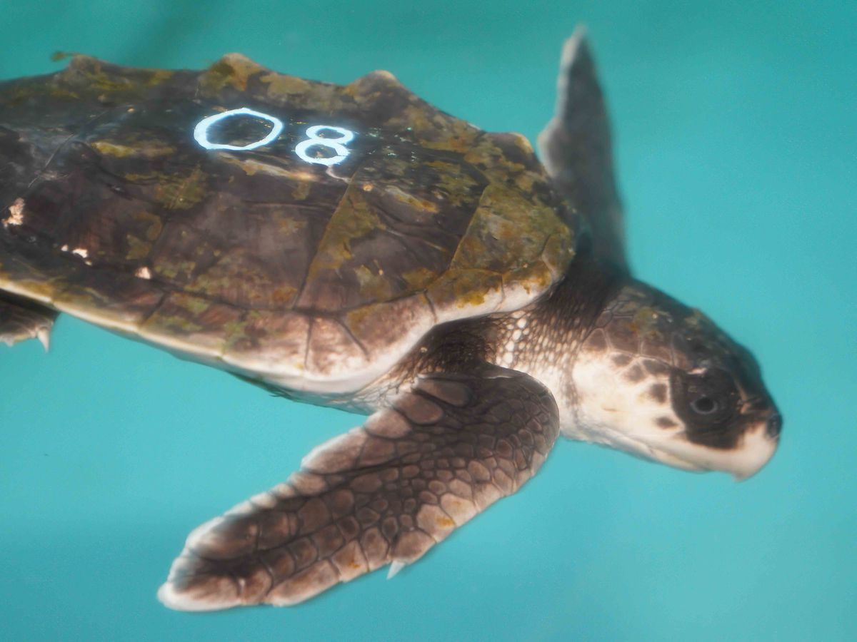 The Audubon Nature Institute works to save 30 sea turtles cold-stunned in New England