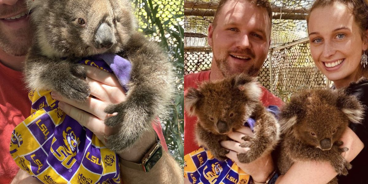 LSU pouches arrive in Australia for koalas devastated by fires