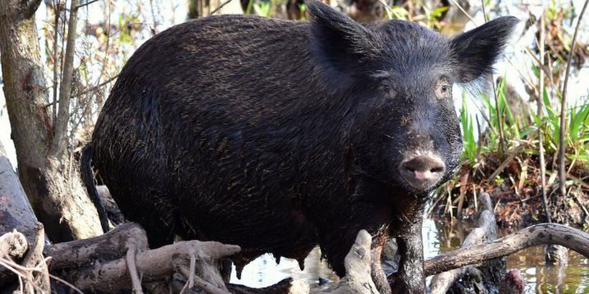 Feral hogs invade Fontainebleau State Park, disrupt campers