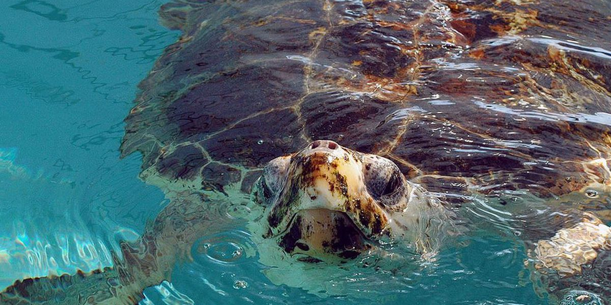 Illinois man sentenced in Louisiana for turtle smuggling
