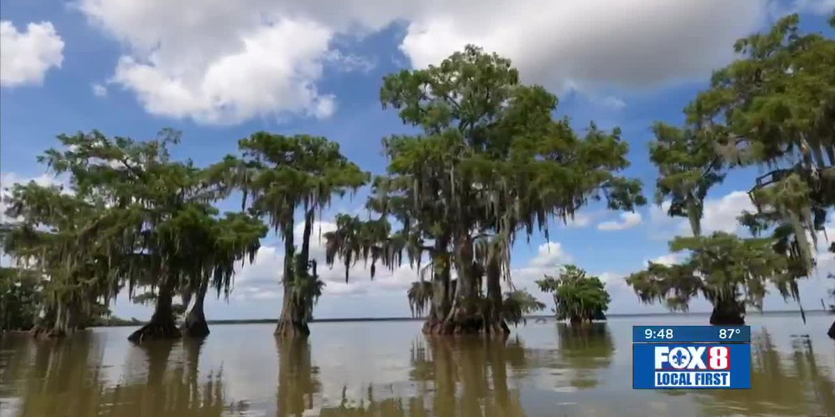 Heart of Louisiana: Fausse Cypress