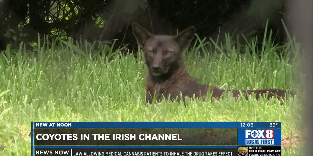 City Council Members bring in experts to talk about coyote problem in the Irish Channel