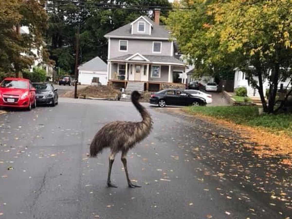 Is that an emu? Giant bird roams around Boston suburb
