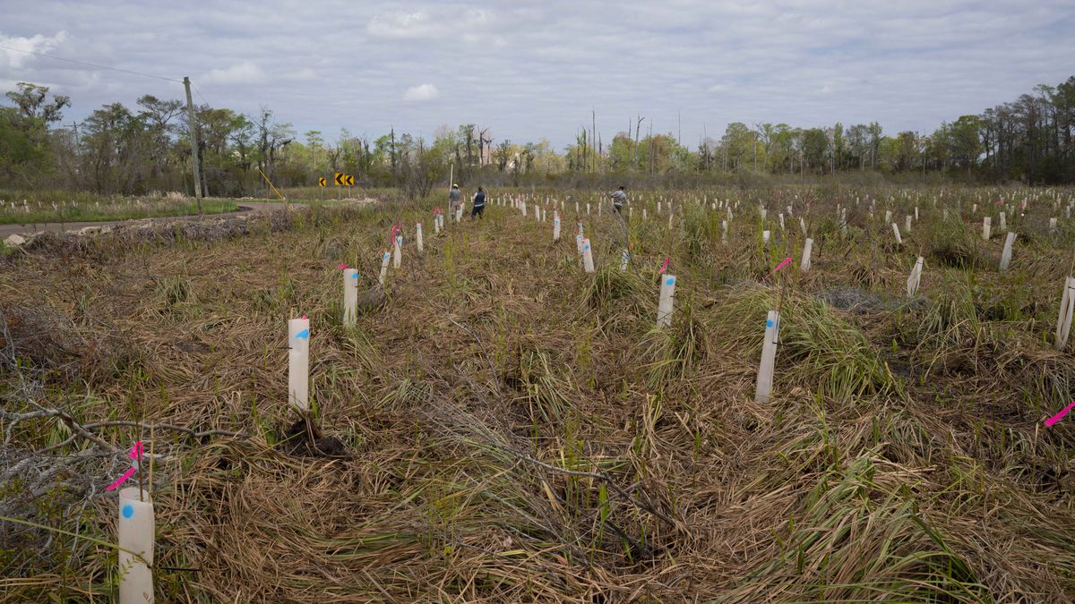 Planting 2,400 trees could be just the start of restoring a cypress forest