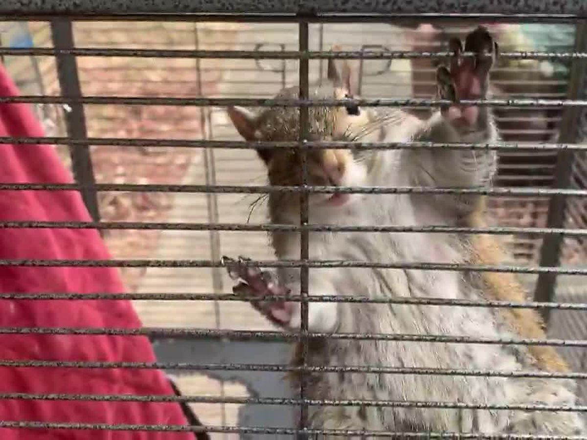 Drugged 'attack squirrel' seized in north Alabama drug raid