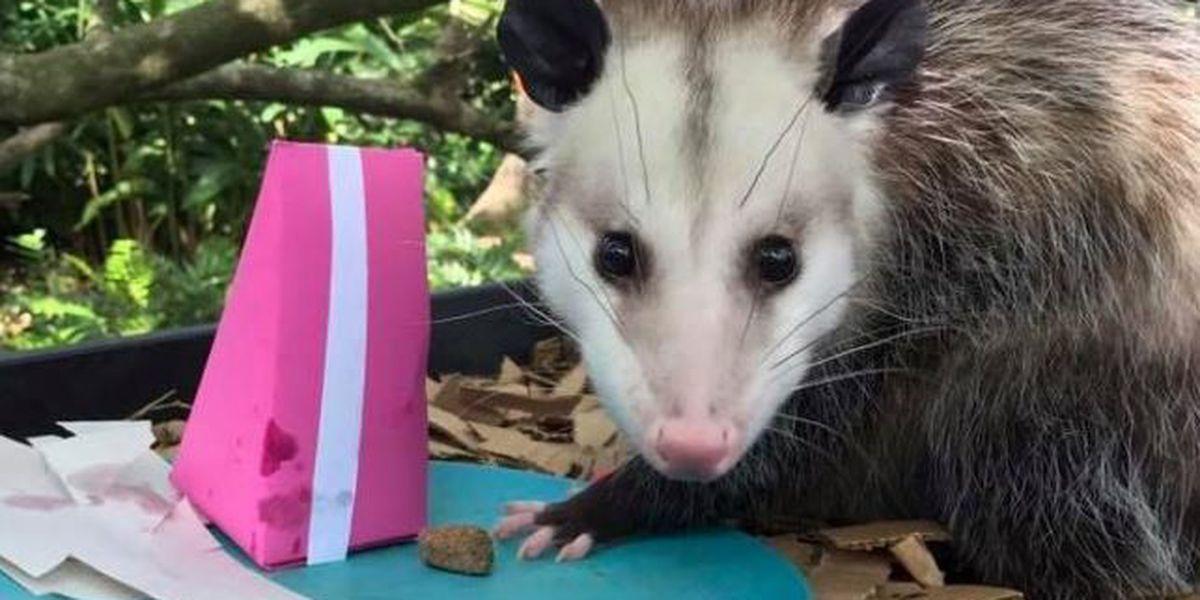 Audubon Zoo opossums celebrate 2nd birthday...with cake!