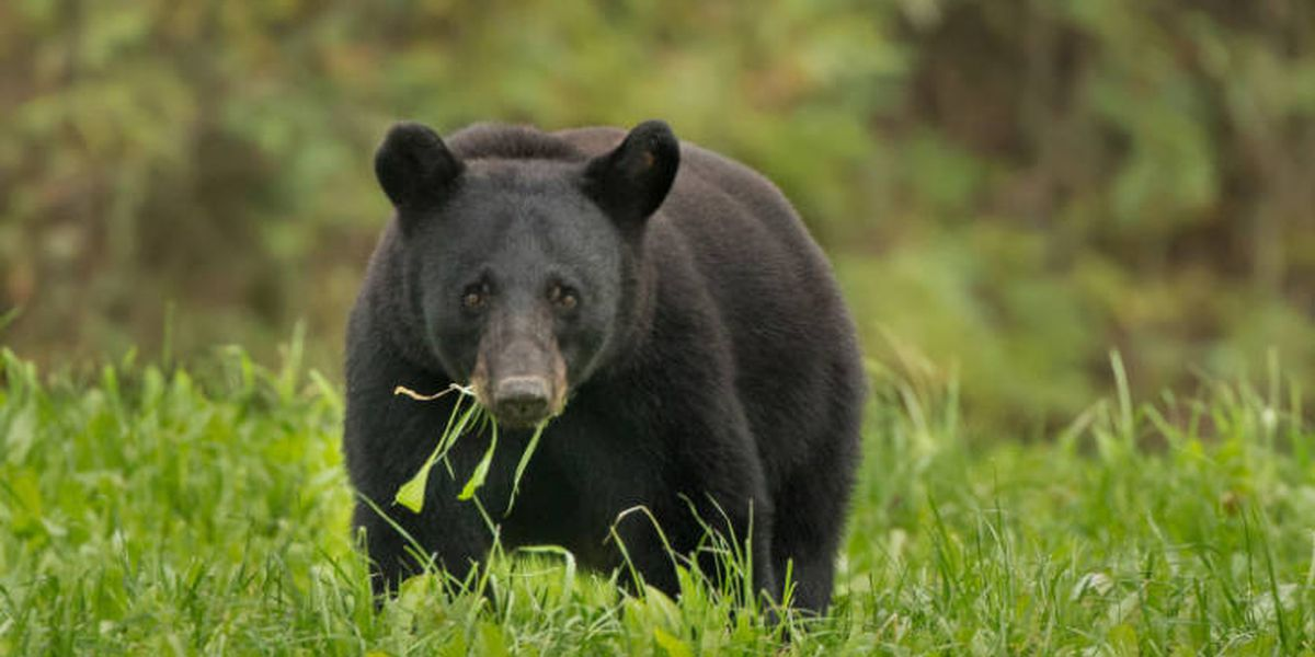 Wildlife agents offering $8,500 for information on illegal killing black bear near Centerville