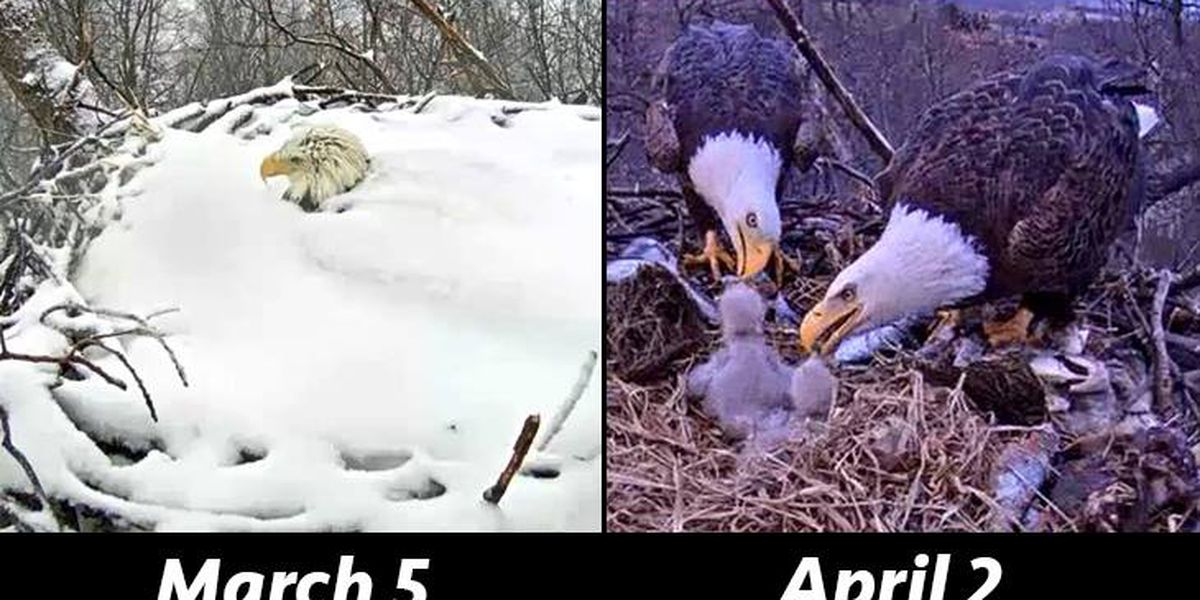 Success! Snowed-in bald eagles enjoying spring now