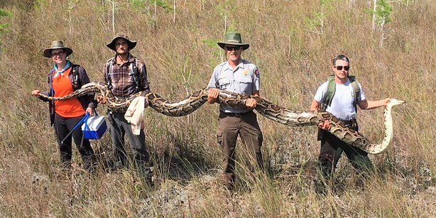 17 foot long, 140 pound giant python captured!