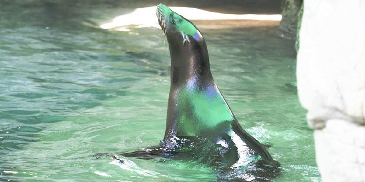 Visually impaired sea lions join group at New Orleans zoo