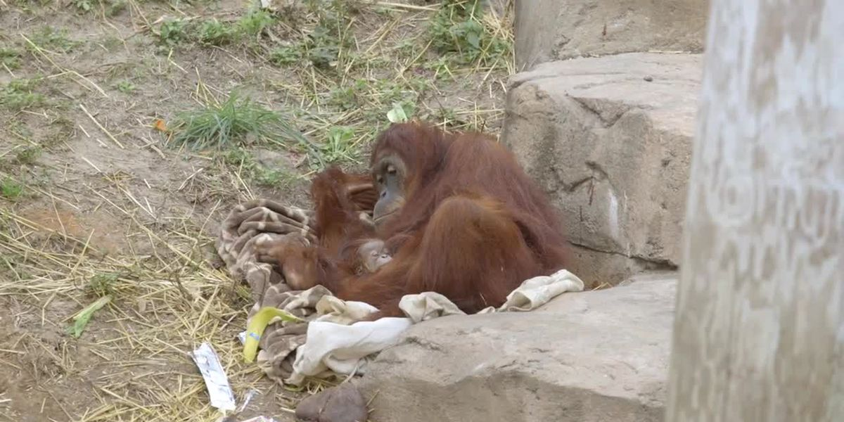 Critically endangered Sumatran orangutan born at Audubon Zoo