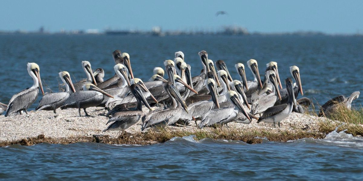 Once a paradise for brown pelicans, islands vanish in a matter of years