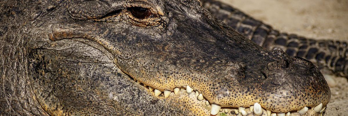 Alligator bites officer while being removed from Luling backyard