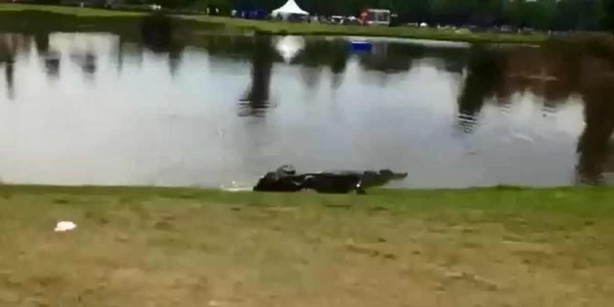 Wicked gator gets wired on 17th at Zurich Classic