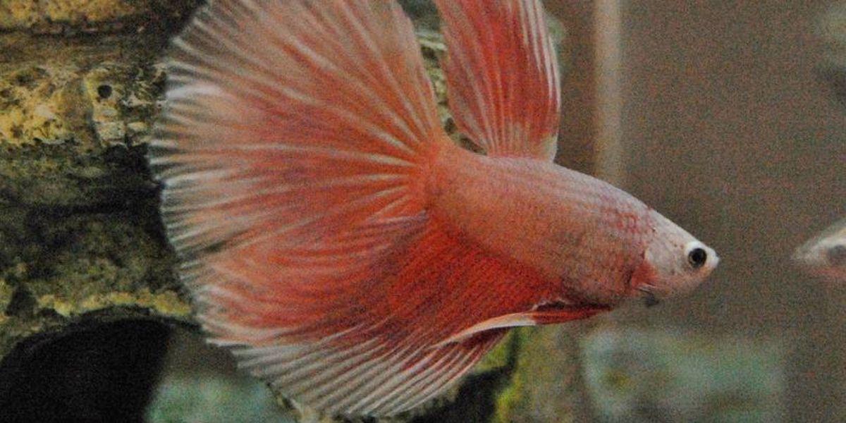 PetSmart recalls 148,000 betta fish kits