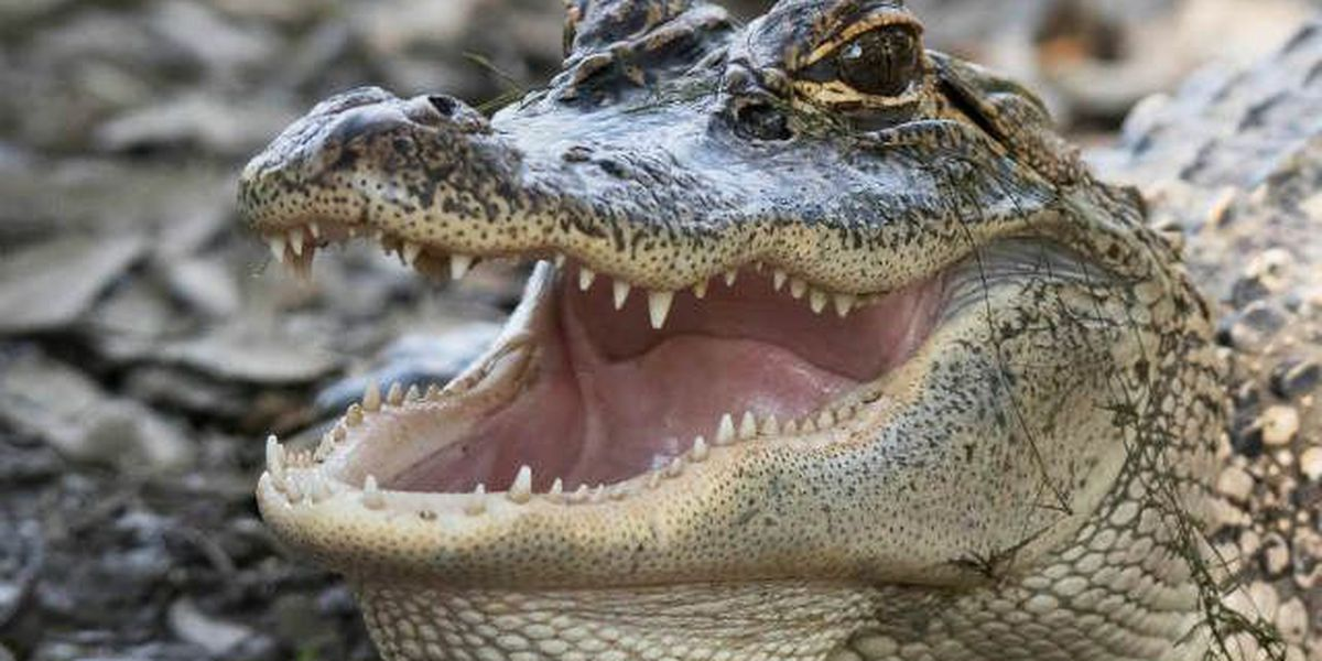 Some swamp tours could get to feed the alligators