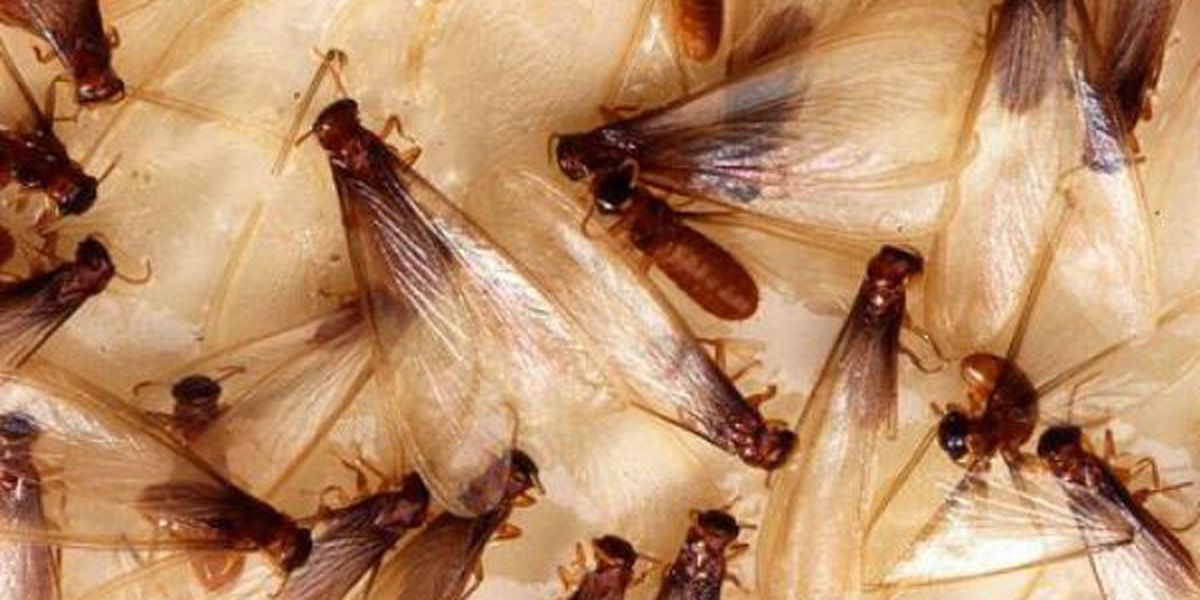 YUCK! Termites already swarming in New Orleans