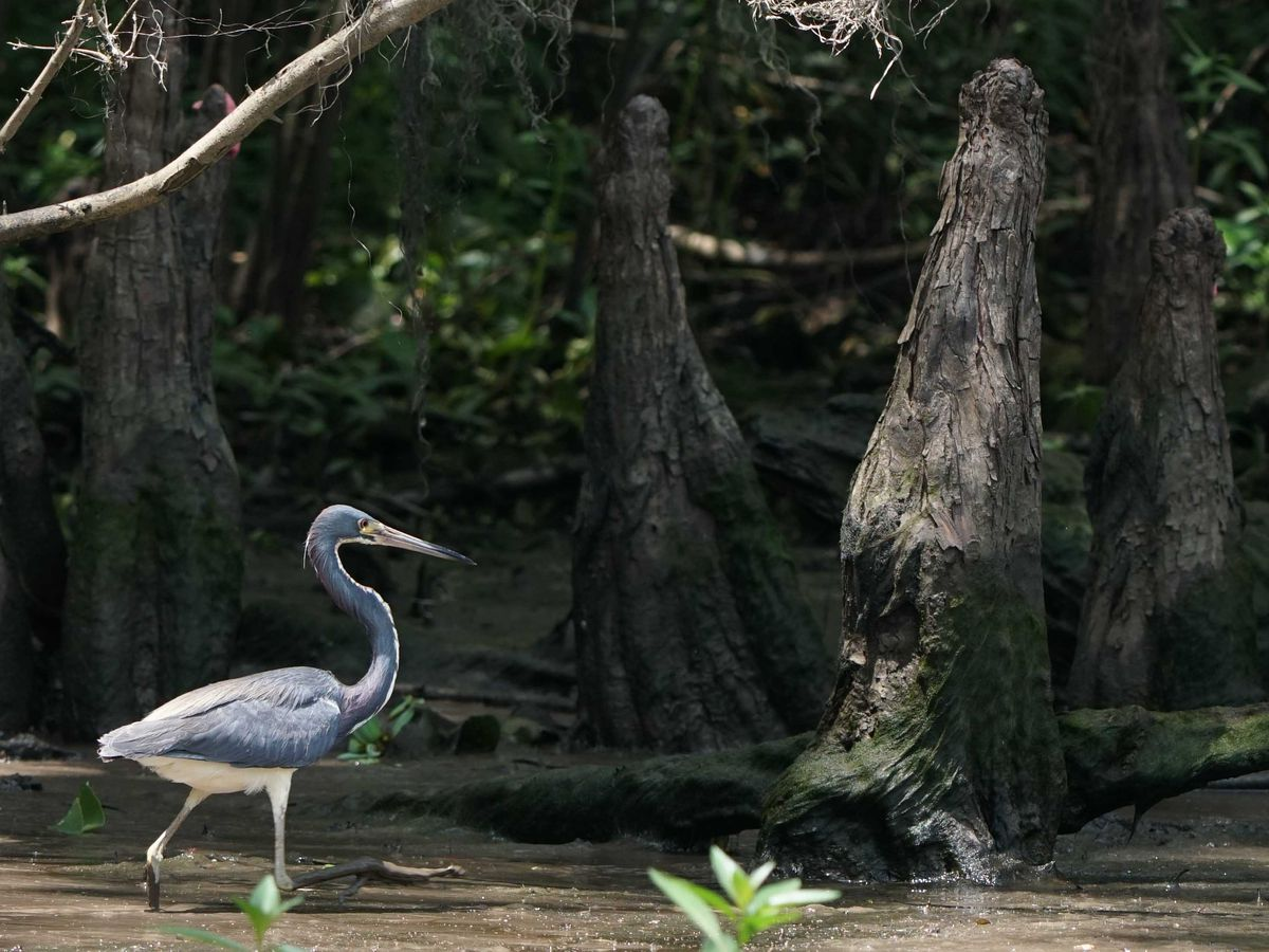 $130 million project aims to save Louisiana's Maurepas Swamp