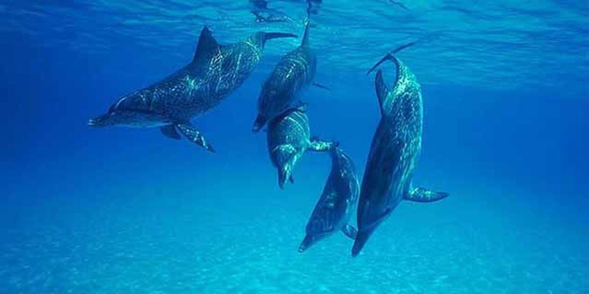 Report: Louisiana dolphins still dying in high numbers; sea turtles failing to nest