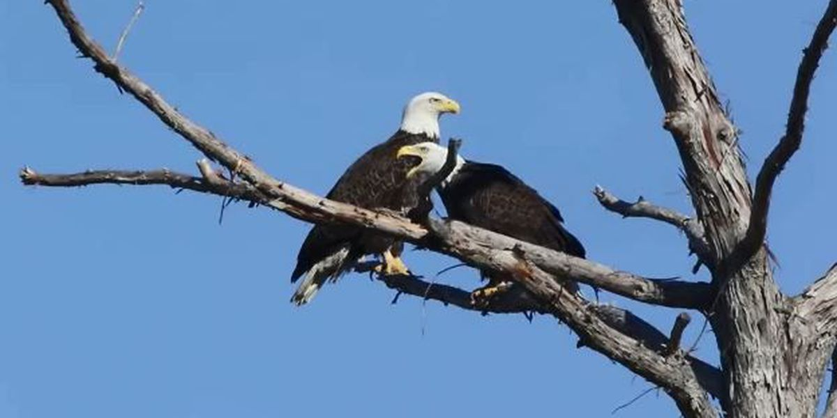 Love Birds: Bald eagles return to residence in the heart of Algiers