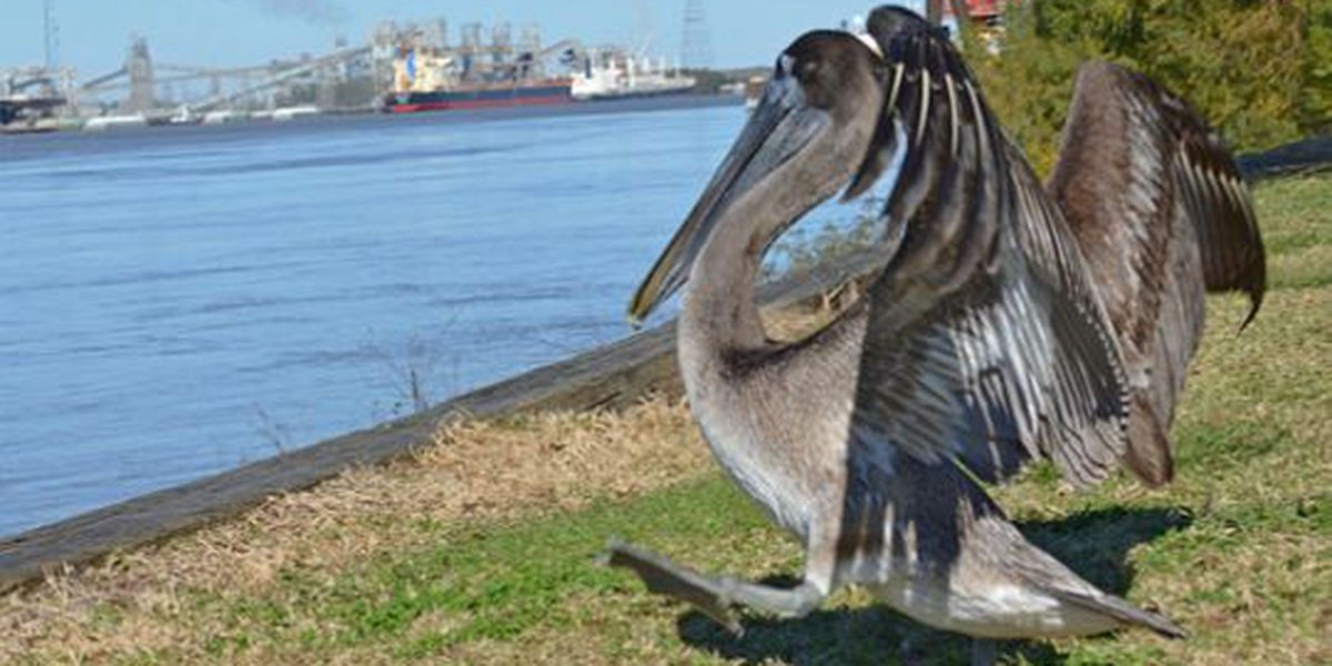 Audubon Zoo releases rescued brown pelican on Mississippi River