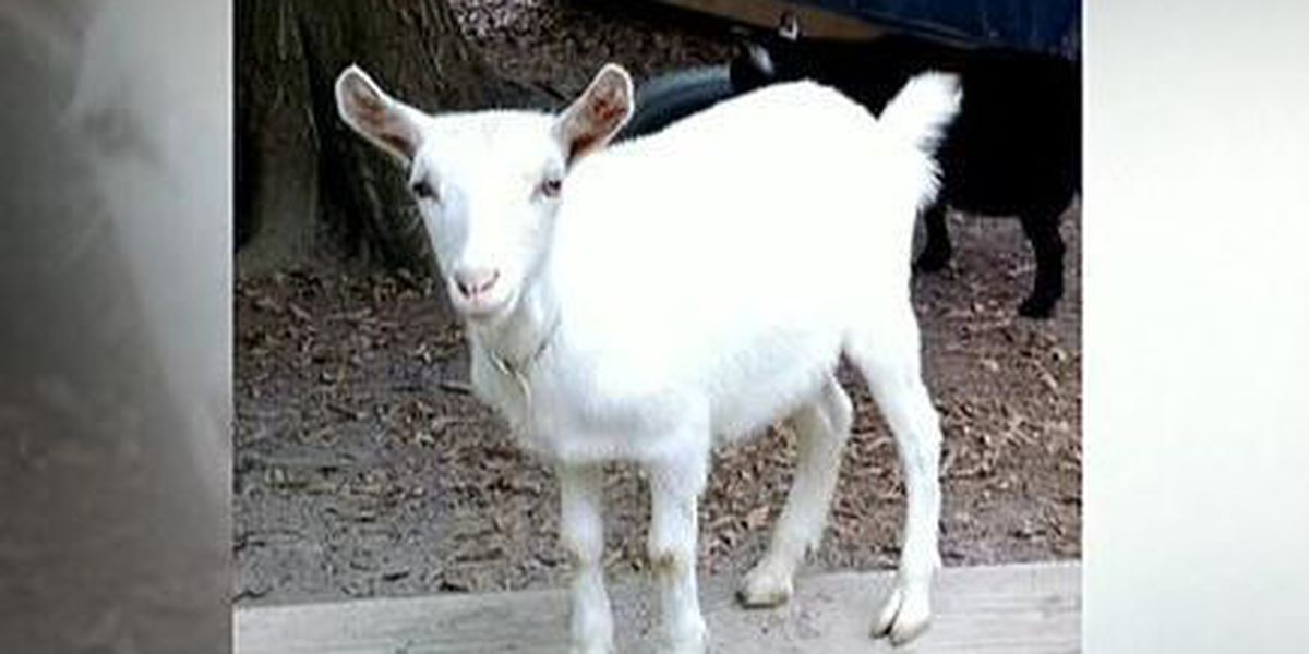 North shore family's pet goat is slaughtered, skinned