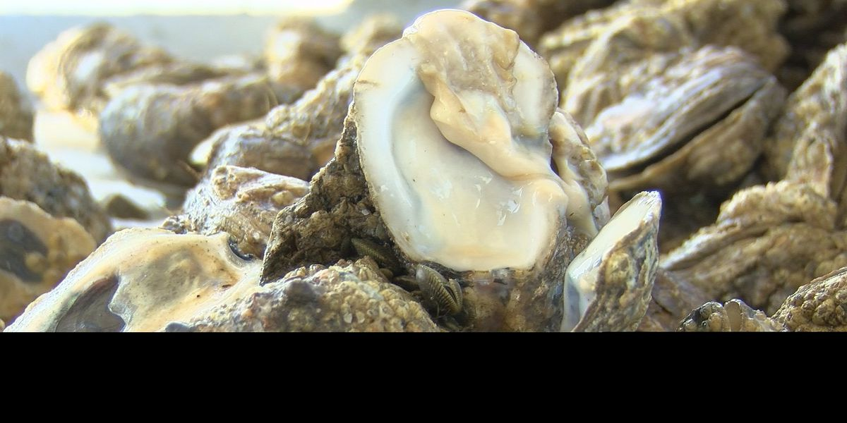 "Oyster fishermen dredging up ""100 percent"" dead oysters"