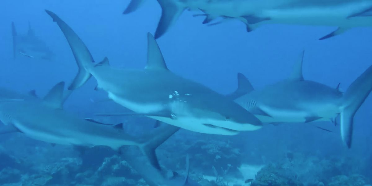 The world's shark populations are dwindling rapidly