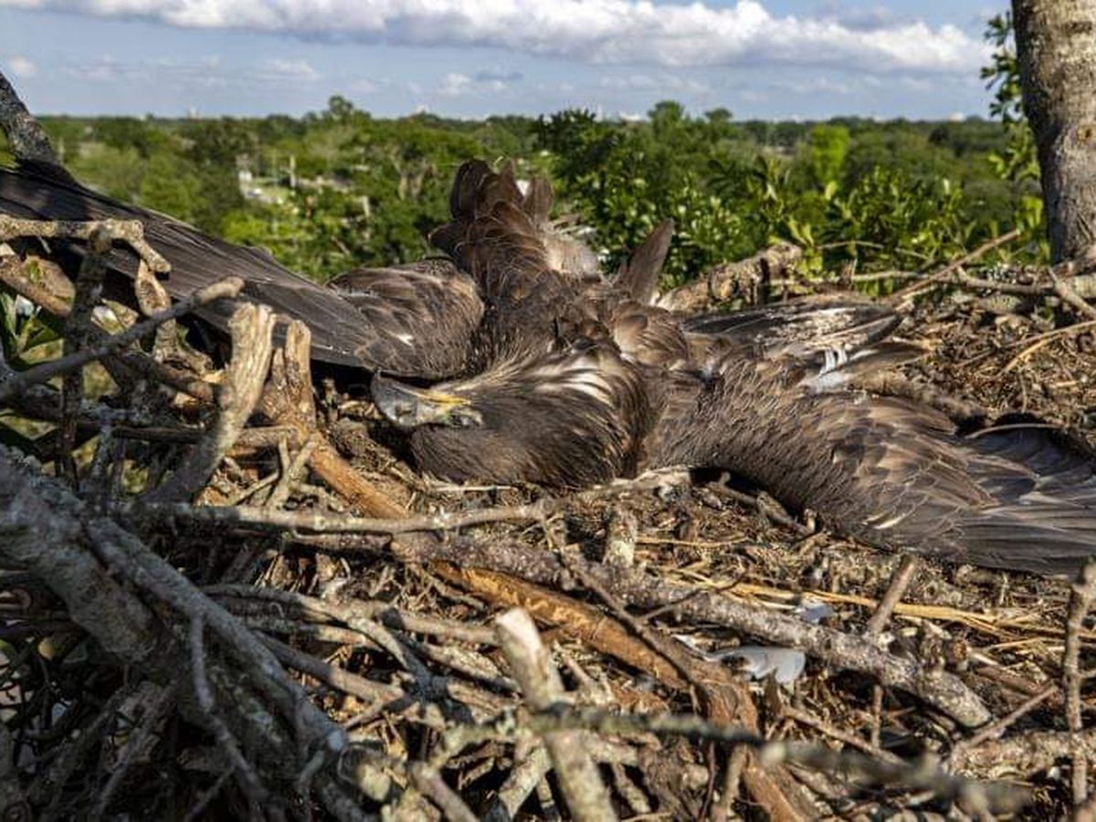 Bald eaglet turns up dead in 4-year-old Metairie nest