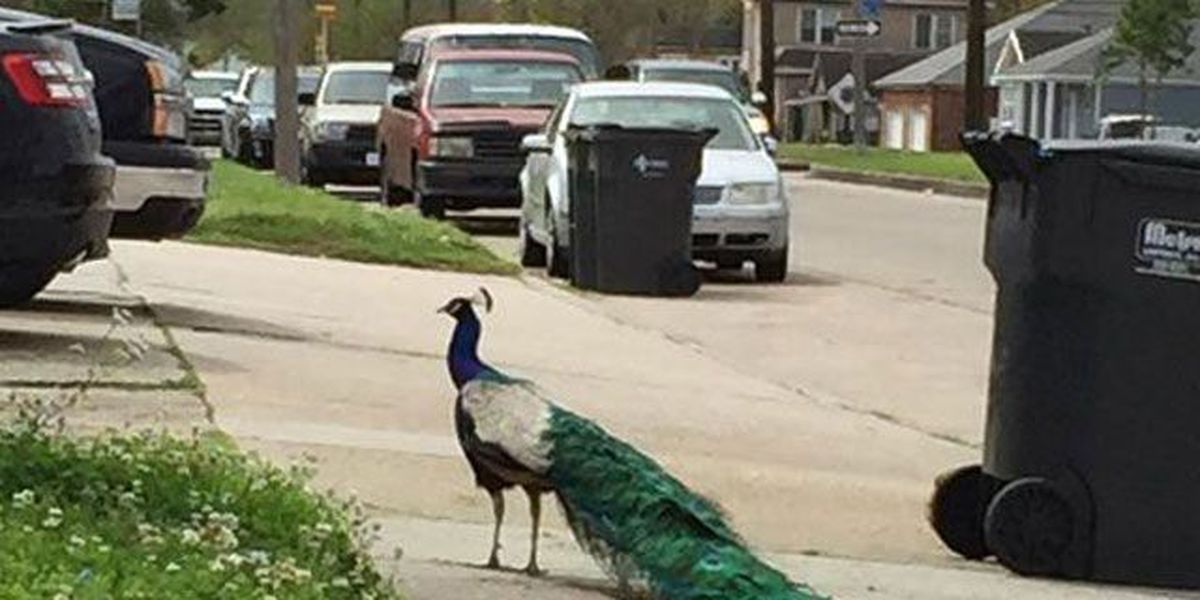 Gentilly peacock spotted near Popeyes Chicken