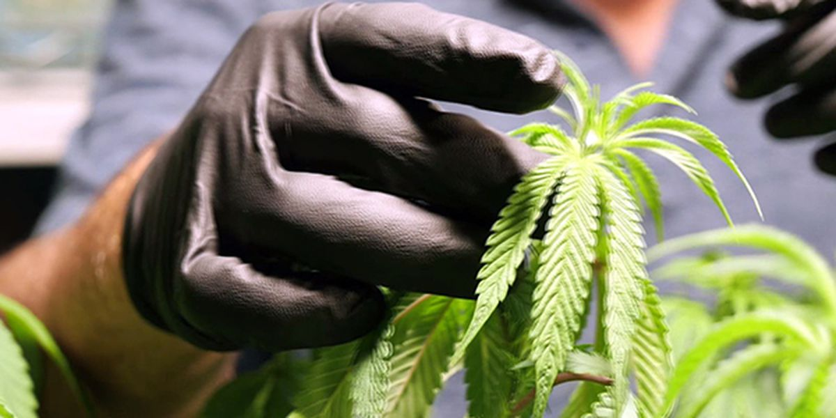 Louisiana medical marijuana backers demand product by May 15