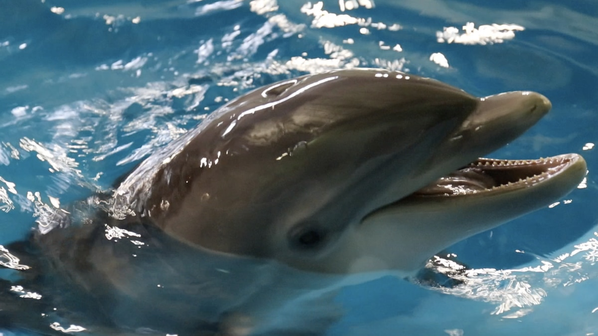 Miracle dolphin rescued in Cameron Parish on the mend at Indianapolis Zoo