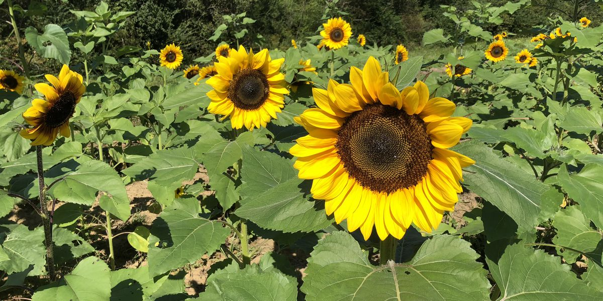 Pick your own sunflowers in South Mississippi