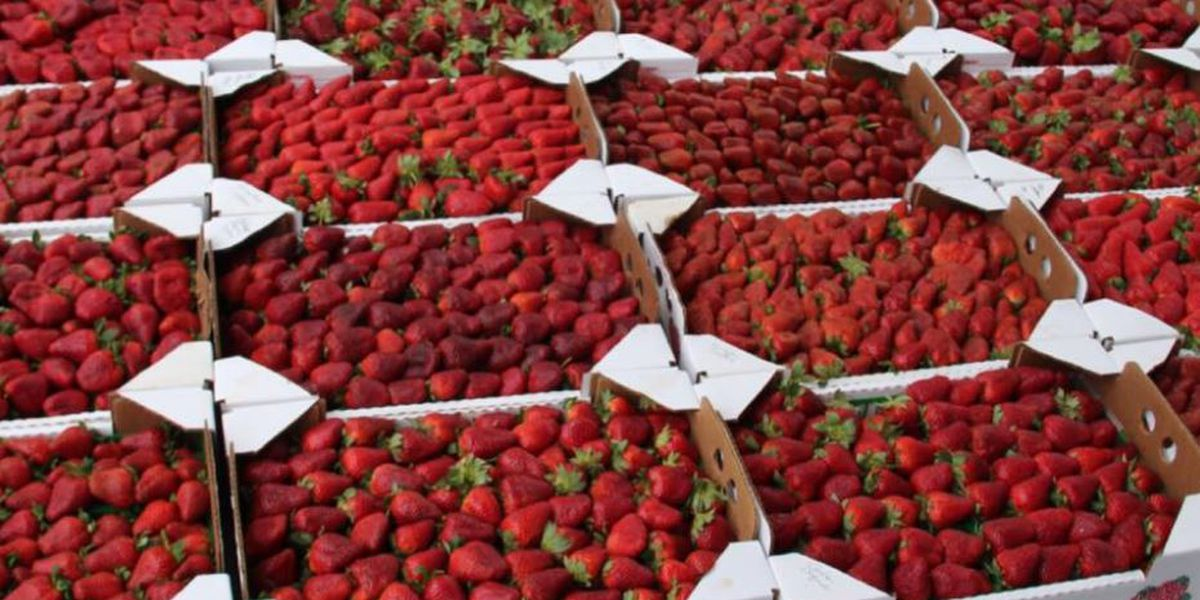 Without the Strawberry Festival, events planned in Ponchatoula Saturday aimed at supporting sales for local farms