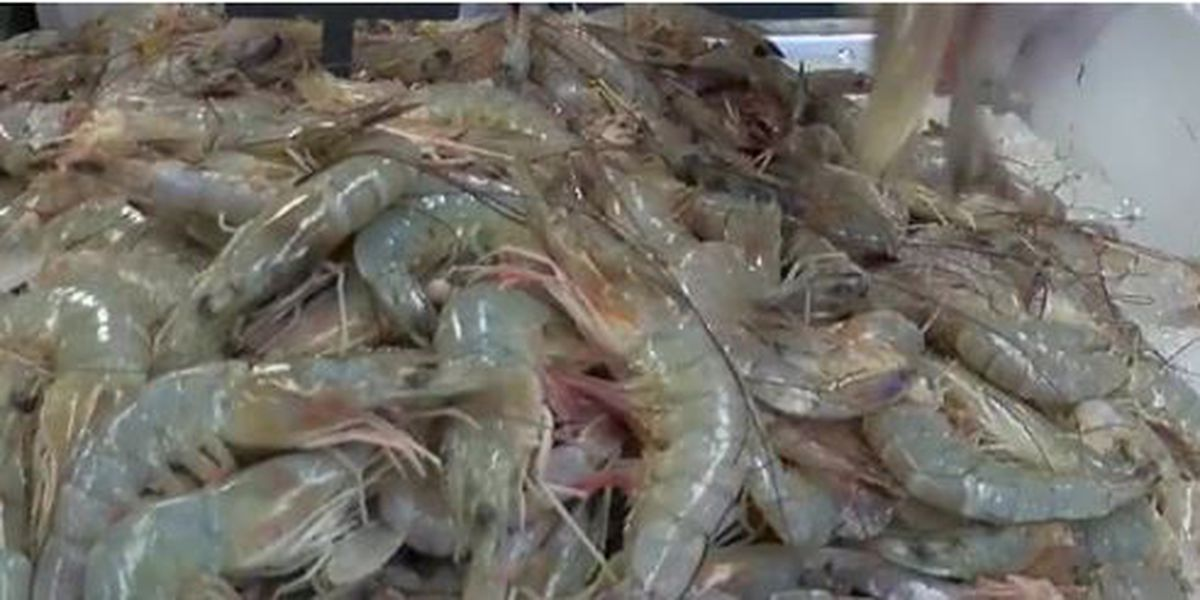 Shrimp season delayed on Gulf Coast
