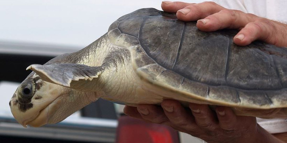 After a cold brush with death, sea turtles find a warmer home
