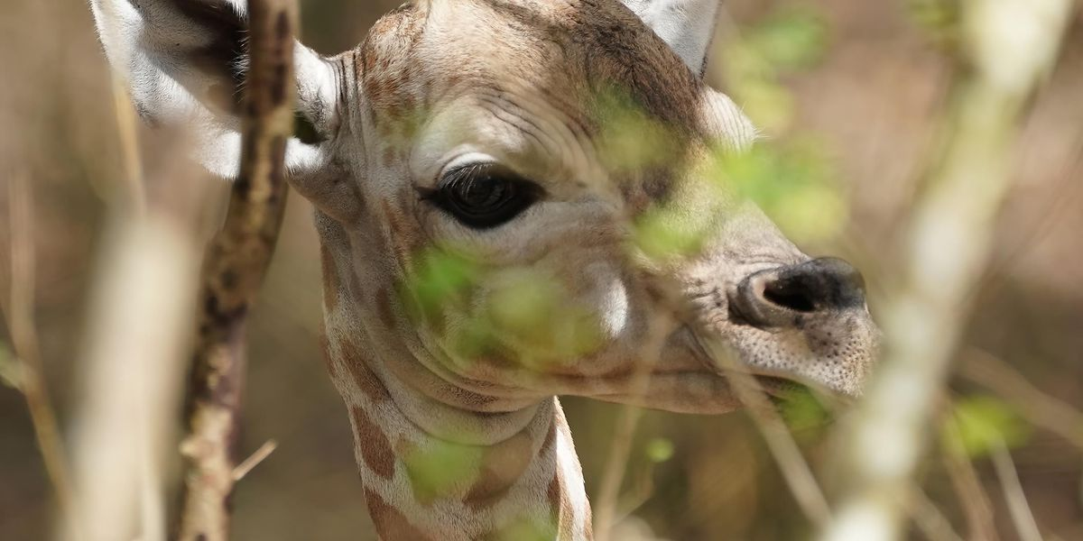 A giraffe baby boom comes to a west bank breeding facility