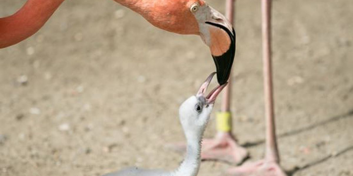 Audubon Zoo welcomes flamingo chick for second year in a row