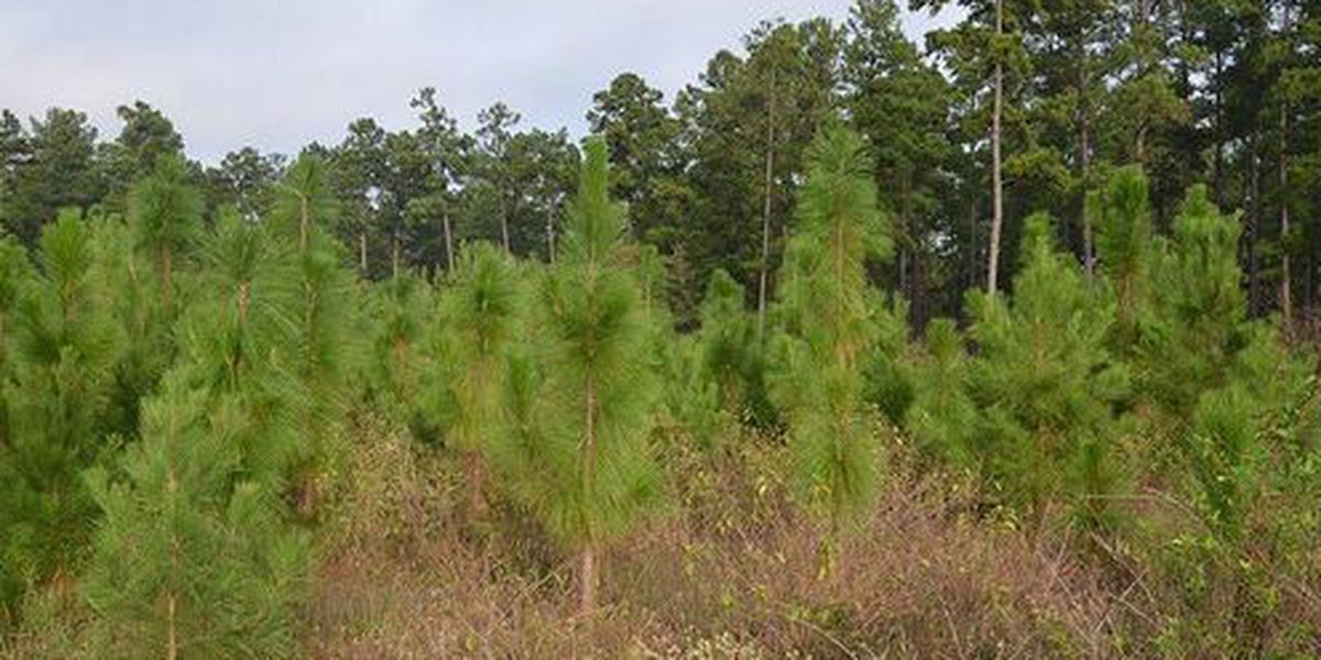 Heart of Louisiana: Longleaf Pine