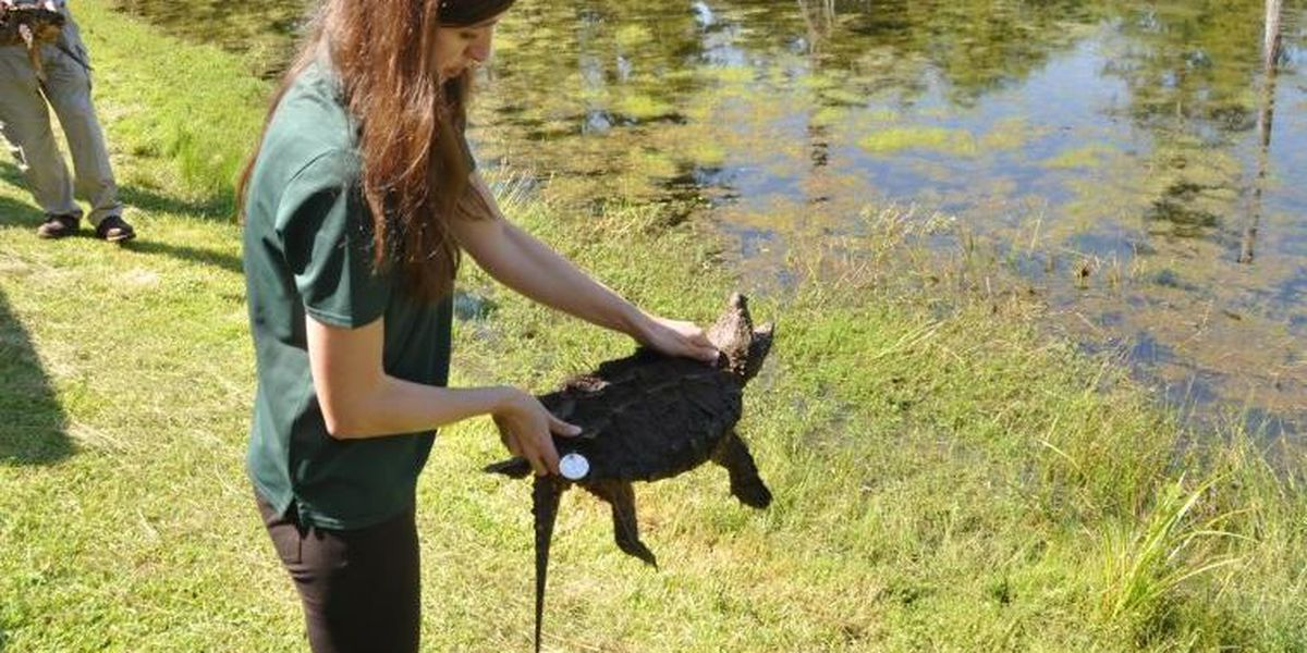 Alligator snappers released in wake of 'significant population decline'