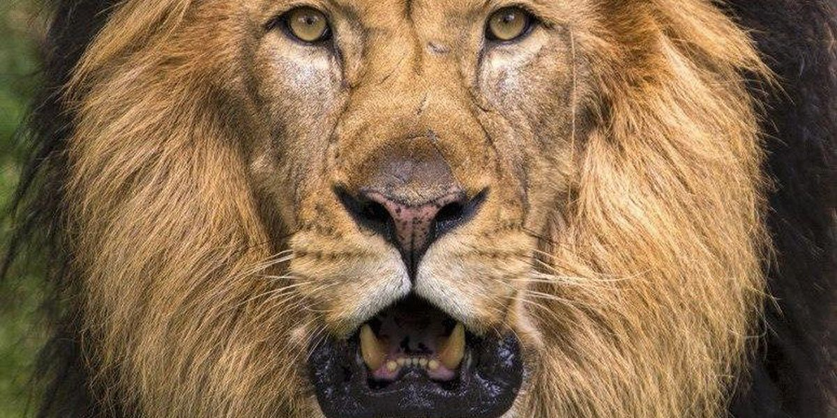 $5 million gift will bring the lion's roar back to the Audubon Zoo
