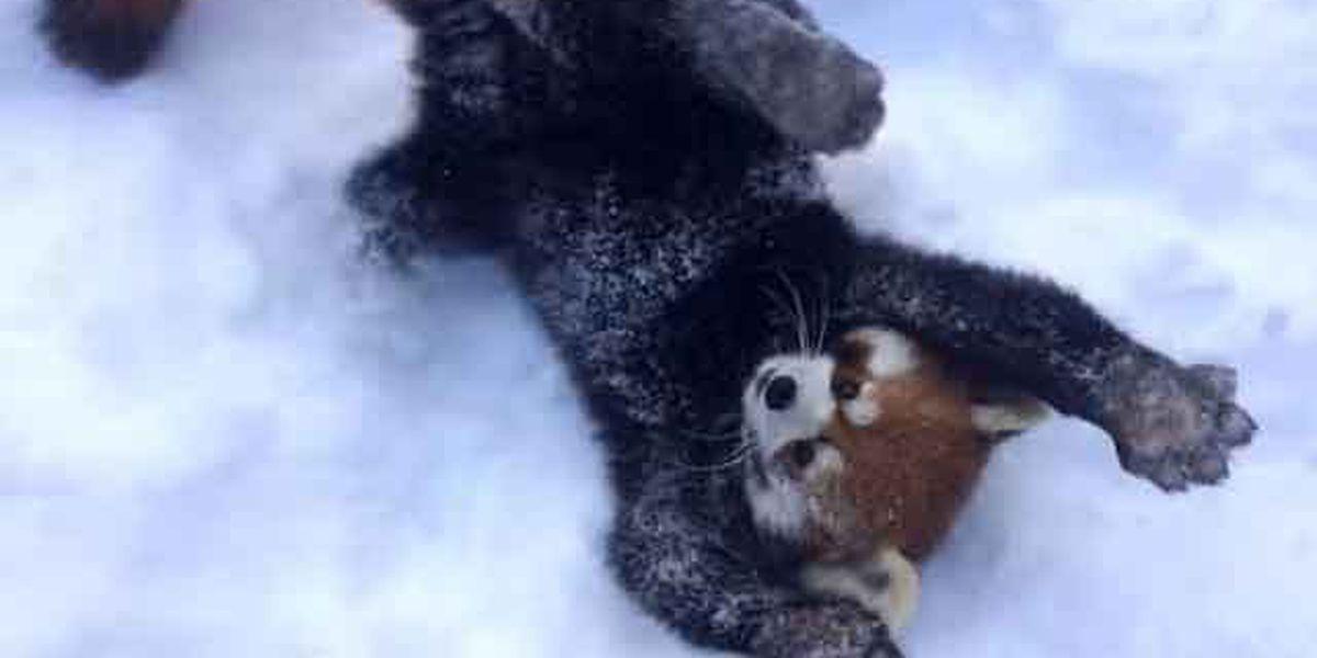 Trending: Adorable red pandas romp through the snow