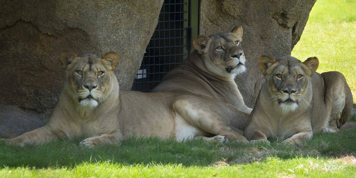 The lion's roar returns to the Audubon Zoo Saturday