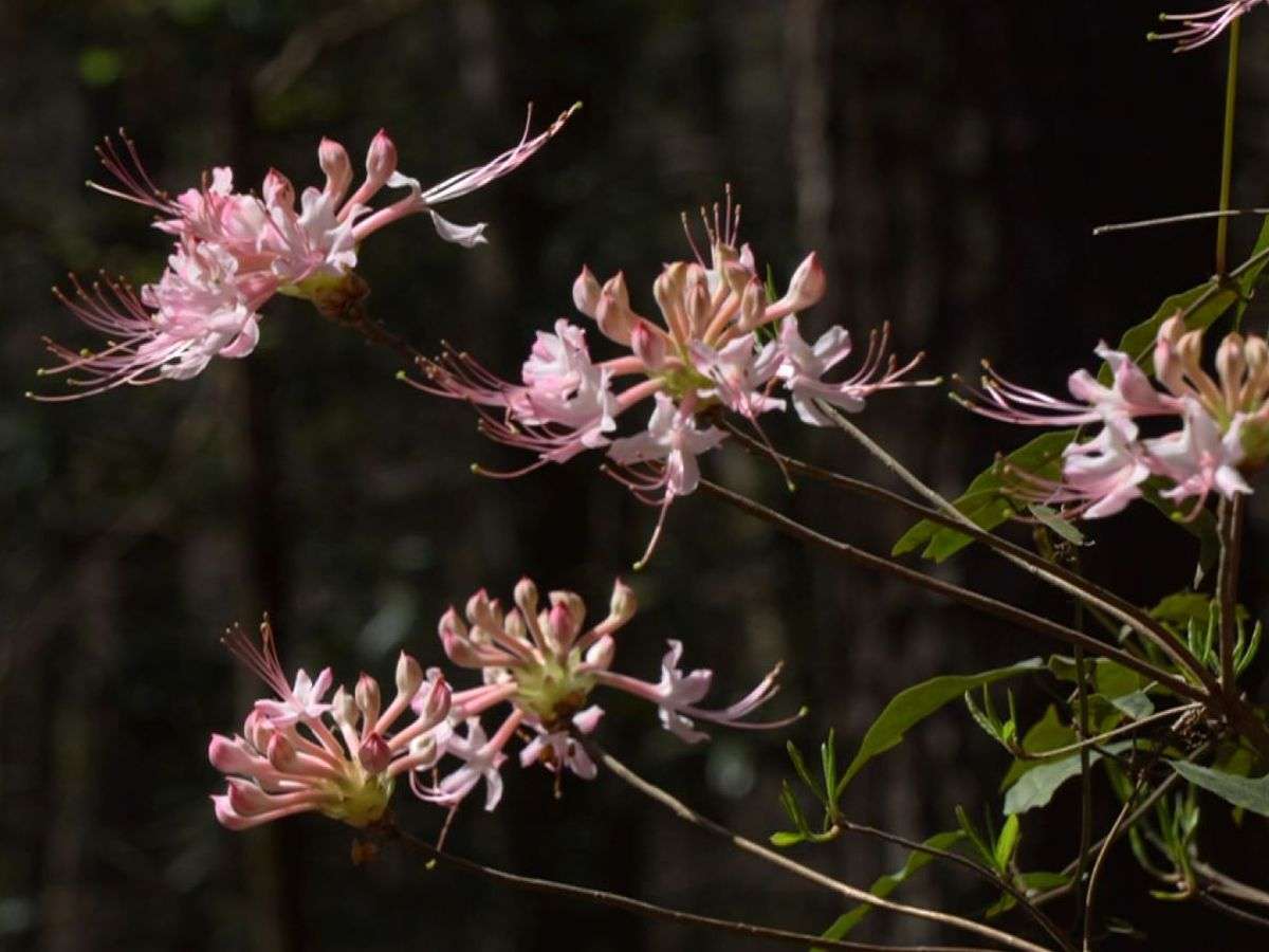 Heart of Louisiana: Kisatchie National Forest's wild azalea trail